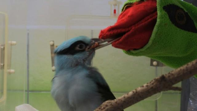 Nearly extinct Javan green magpies thrive at Prague zoo.