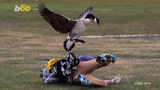 Michigan golfer gets attacked by a goose, photos go viral