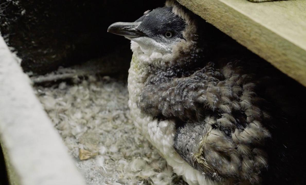 Visit Oamaru, New Zealand, to meet the world's smallest penguins that happen to have their own VIP tunnel.