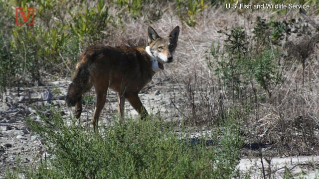 the red wolf may become extinct in the next 10 years