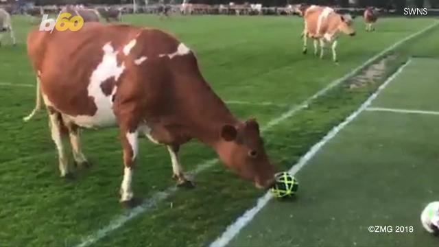 Holy cow! That's one way to call off a soccer match.