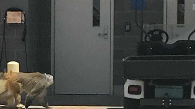 A baboon was finally caught after it escaped from a crate at the San Antonio International Airport.