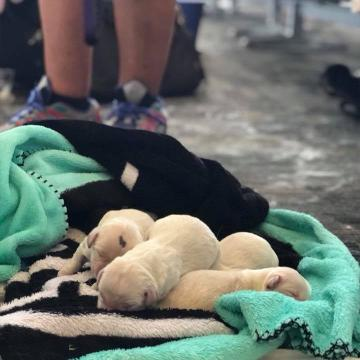 Service dog delivers 8 puppies at Florida airport while waiting for a flight