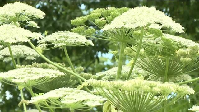 For the first time in Virginia, a hazardous plant that can cause blindness and burns has been confirmed.