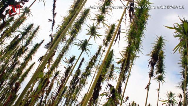 What is hemp and how is it used?