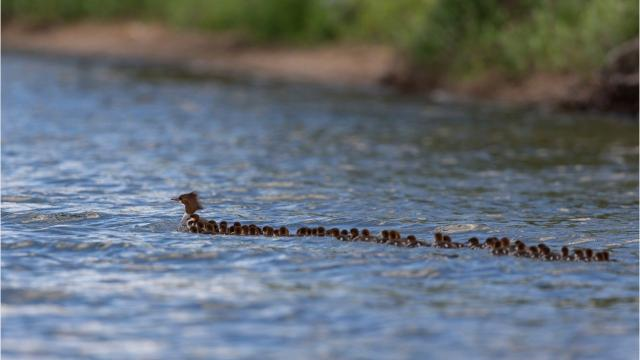 An incredible photo of a hen followed by dozens of ducklings isn't quite what it seems