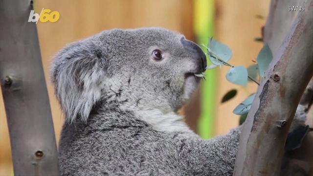 Being on a flight can be a bear, but would it cheer you up if there was a real-life koala on board? Buzz60's Nick Cardona has more.