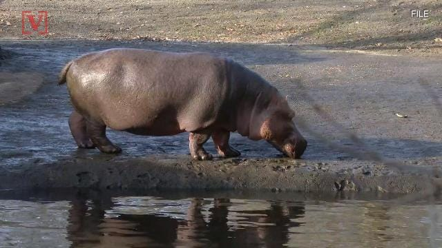 Tourist killed in Kenya hippo attack while taking photos