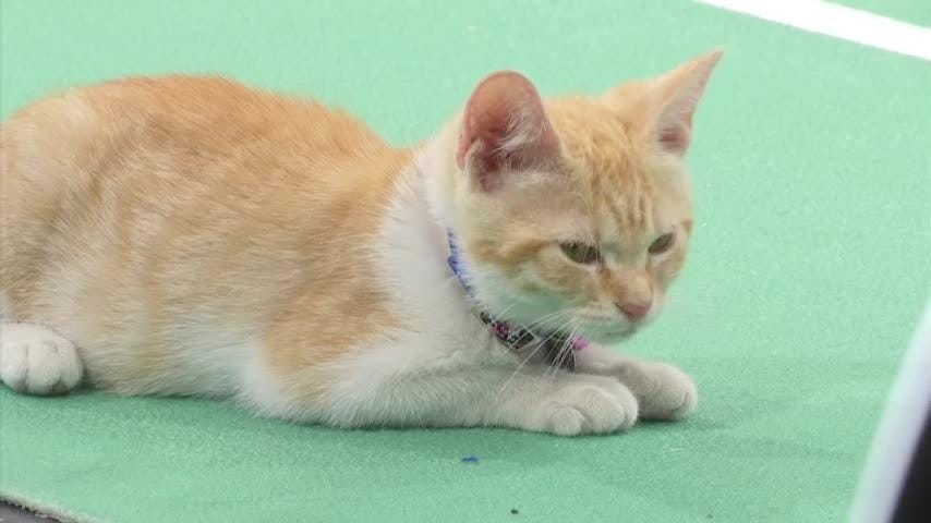 Pre-season training has begun for the feline pawthletes that attract thousands of viewers each year to the annual Kitten Bowl. The Kitten Bowl is an annual event that airs on Super Bowl Sunday on The Hallmark Channel to encourage the adoption of shelter pets (Aug. 15).