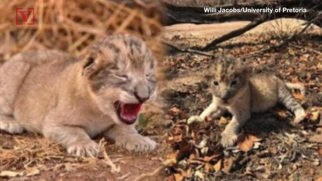 Worlds First Test Tube Lion Cubs Give Hope For -8786