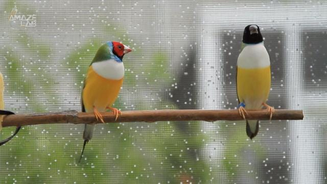 More research needs to be done on sense of humor and personality, but a new study finds male birds rely on either good looks or songs to woo the ladies.