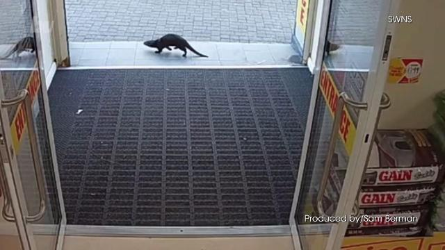 An Otter in Ireland decided to take a trip to the local supermarket, and it was all caught on camera, talk about an otter otter water. Buzz60's Sam Berman has the full story.