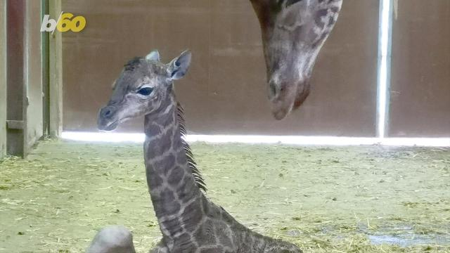 Watch this baby giraffe try to take its first steps