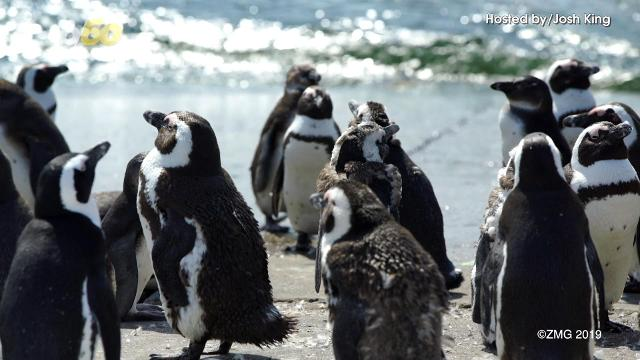 5ef22420a3f4 Science Penguin couples split up for winter but apparently stay faithful