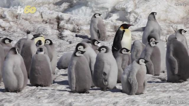 91990ffe58d8 Baby Emperor Penguins march to their first swimming lesson