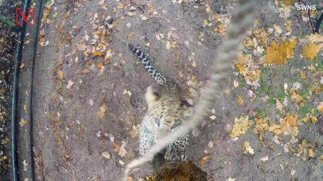 If you were in need of a little pick me up today, just watch these to leopard cubs playing around.