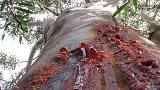 Creepy trees in Australia 'bleed' when they're cut open