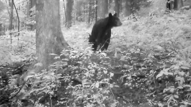 The Kentucky Natural Lands Trust recently captured video of three black bear cubs and a mother bear near Blanton Forest, Kentucky's largest old-growth forest.