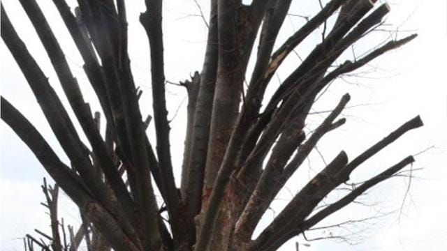 "The International Society of Arboriculture considers ""tree topping"" the most harmful tree pruning practice. While a common practice, it can weaken and kill trees , the society says. Here's how."
