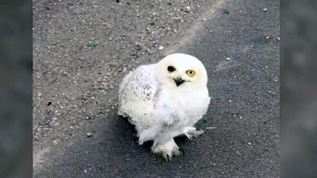 Snowy Owl Fights For Life After Dramatic Rescue On Louisville Freeway