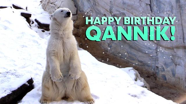 Qannik the polar bear celebrates her 7th birthday this Saturday at the Louisville Zoo.