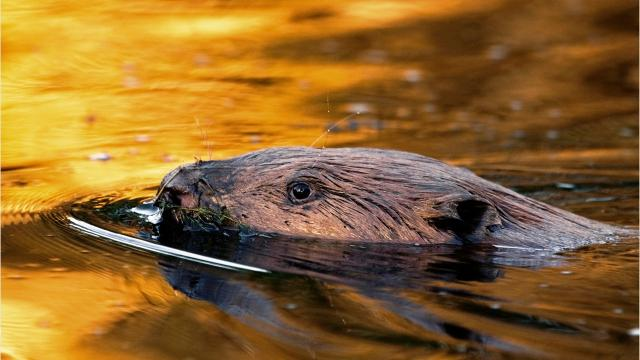 Wait, what? Bourbon is flavored with beaver secretions