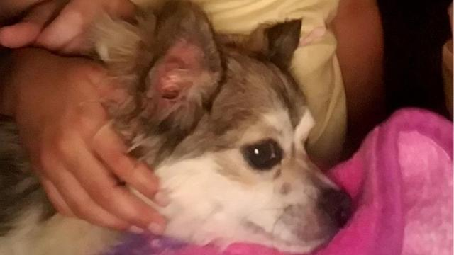 A Magnolia mother of a stage 4 cancer survivor is hoping for another miracle: the safe return home of her daughter's pet Chihuahua.