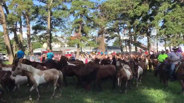Chincoteague ponies corralled after swim, parade