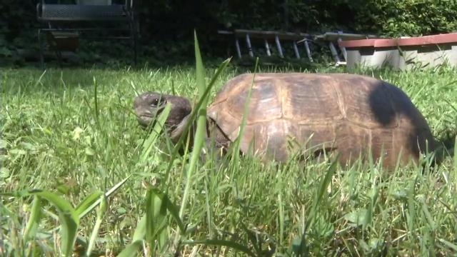 Missing tortoise found in Myrtle Beach, reunited with family