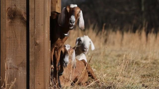 Using goats to clear land