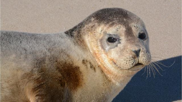 Seal sightings becoming more common along Delmarva