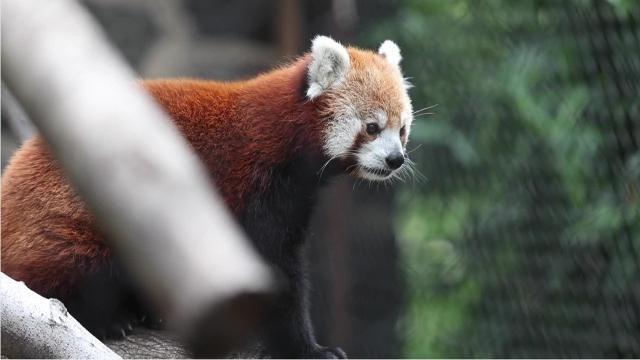 Young red pandas Sherman and Mohu recently moved into the Brandywine Zoo in Wilmington.