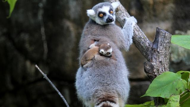 The Cincinnati Zoo and Botanical Garden has had a baby boom this summer. A black rhino, three ring-tailed lemurs, a red panda, and a black and white colobus monkey have been born since May.