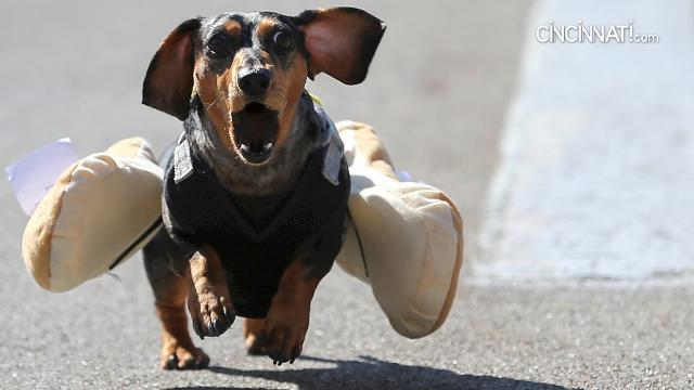 100 dachshund dogs raced in the 10th annual Running of the Wieners to kick off Oktoberfest Zinzinnati weekend, Friday, Sept. 15, on Race Street between Second and Third streets.