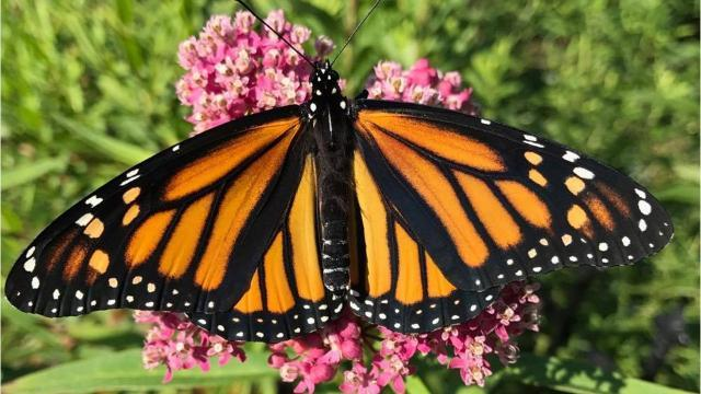 Raising and saving monarchs