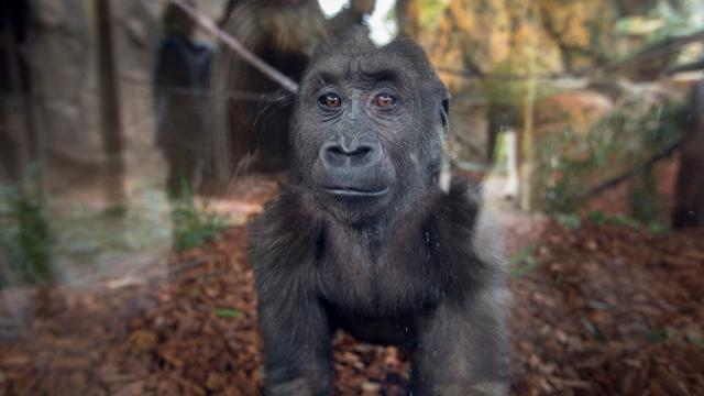 Have your camera ready! The Cincinnati Zoo and Botanical Garden has opened their new indoor gorilla habitat for their 11 gorillas. Only glass separates you from them. The new area is open all year-round.