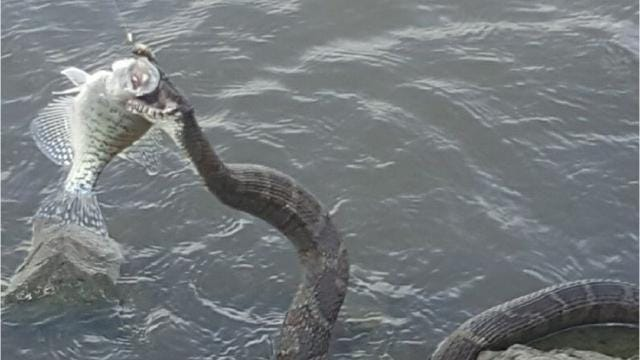 Huge Snake Steals Eats Fish Caught By Iowa Fisherman
