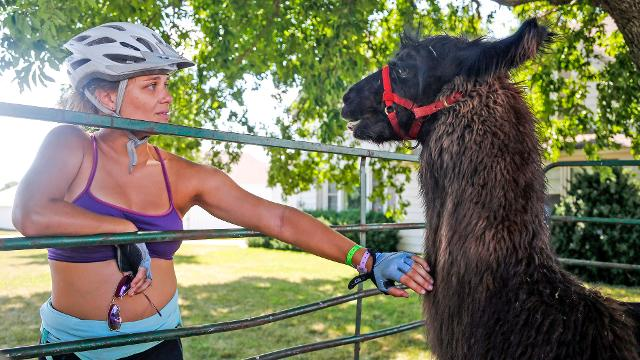 Riders got a chance to pet and take selfies with llamas on RAGBRAI