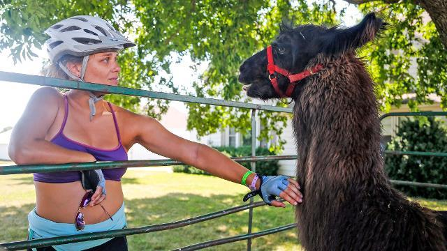 Mama and baby llamas greet riders on RAGBRAI