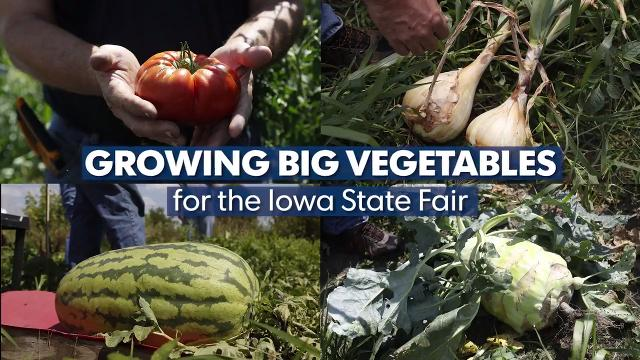 Watch as Marty Schnicker of Mount Pleasant talks about how and why he grows big vegetables for competition each year for the Iowa State Fair.