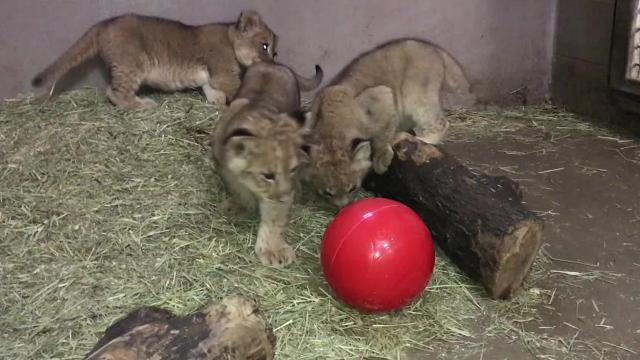 These little lion cubs finally have names