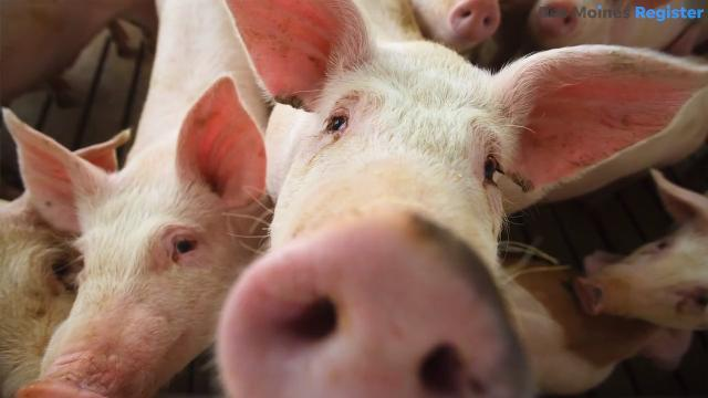 Pig farmer Trent Thiele sees room for more CAFOs, concentrated animal feeding operations, on Iowa's farmland.