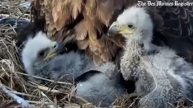 Must see: Go inside the nest of the Decorah Eagles