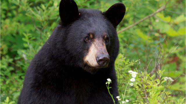 What you need to know about black bears in Michigan