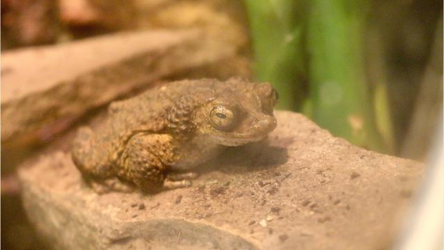 If you're a frog or toad, you're likely endangered and headed for extinction. But 5,600 tadpoles from the Detroit Zoo are bolstering your numbers.
