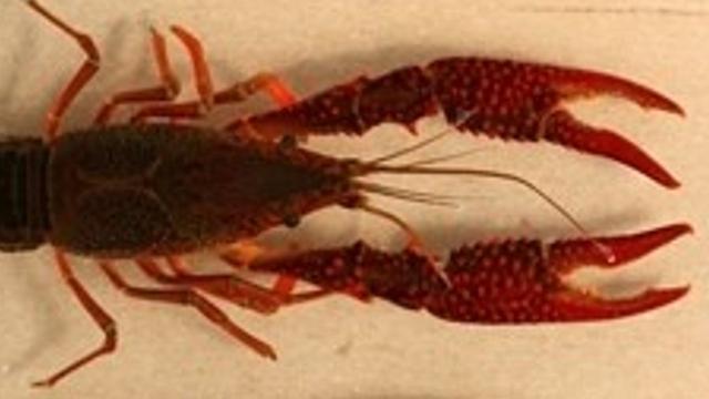 Red swamp crayfish take on Michigan