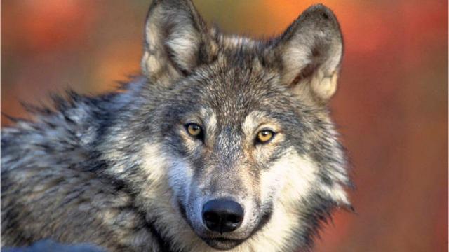 Michigan seeks volunteers to count wolves Up North