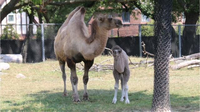 Detroit Zoos Camel Family Grows By 2 Humps