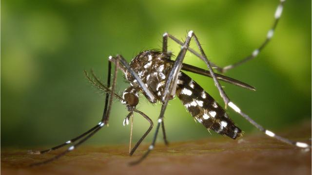 Asian tiger mosquito in Michigan