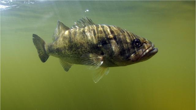 King Salmon Reign Shrinks On Changing Great Lakes